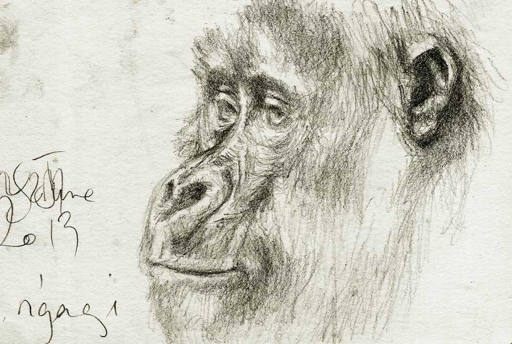 Female Gorilla - Nkuringo group, Uganda 2013