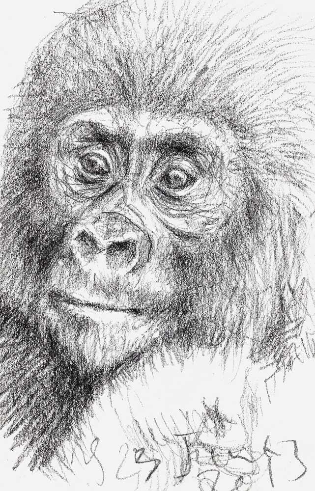 Juvenile Gorilla 23 June 2013