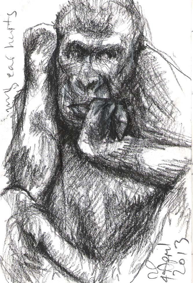 Juvenile Gorilla, Taronga Zoo, 2013