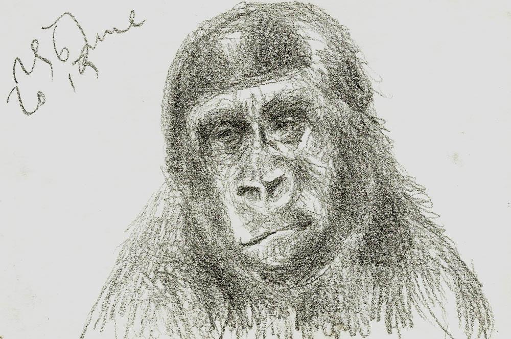 Western Lowland Gorilla - Taronga Zoo, 2013